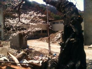 大槌の桜の木