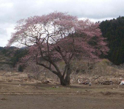 陸前高田市郊外でガレキの中で咲くサクラの大木