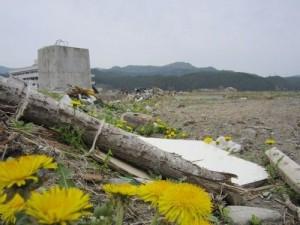 壊滅的な被害を受けた陸前高田市街地に咲くタンポポ