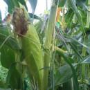 朝採りトウモロコシを保育所へ