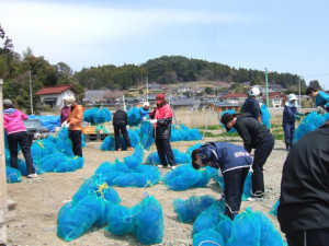 泊漁港 ホタテ養殖準備作業