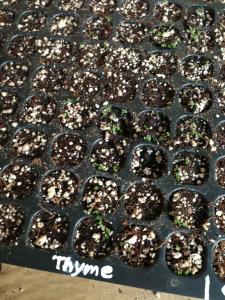 20130515はーぶの芽