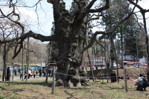 日枝神社の千年桜
