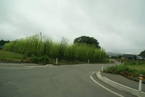 遠野のホップ畑